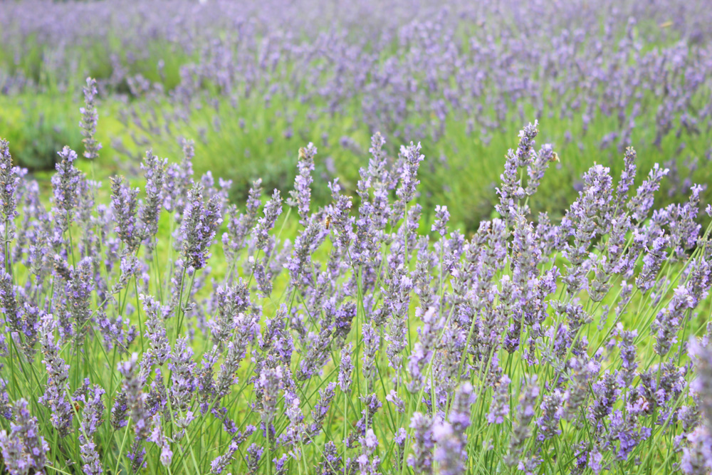 Terre Bleu Lavender 1