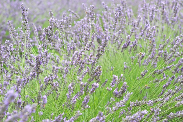 Terre Bleu Lavender 2